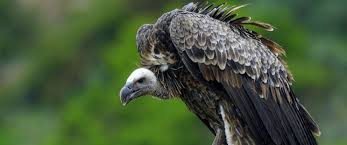 SHOCKING! A vulture was apprehended in Adamawa state